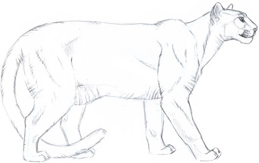 I started with a line drawing that clearly indicates the contours of major muscles. Out-to-in flicks along the contour and cracks in deeper fur suggest the texture of the pelt.