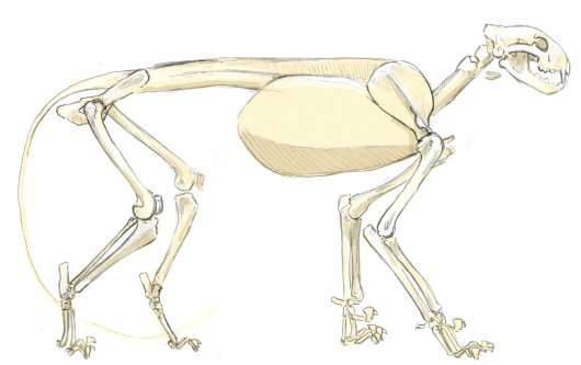 The mountain lion has a digitigrade stance walking on the pads of the toes and the ball of the foot. Note that the heel and wrist form the joints that are held off the ground but still low on the leg.