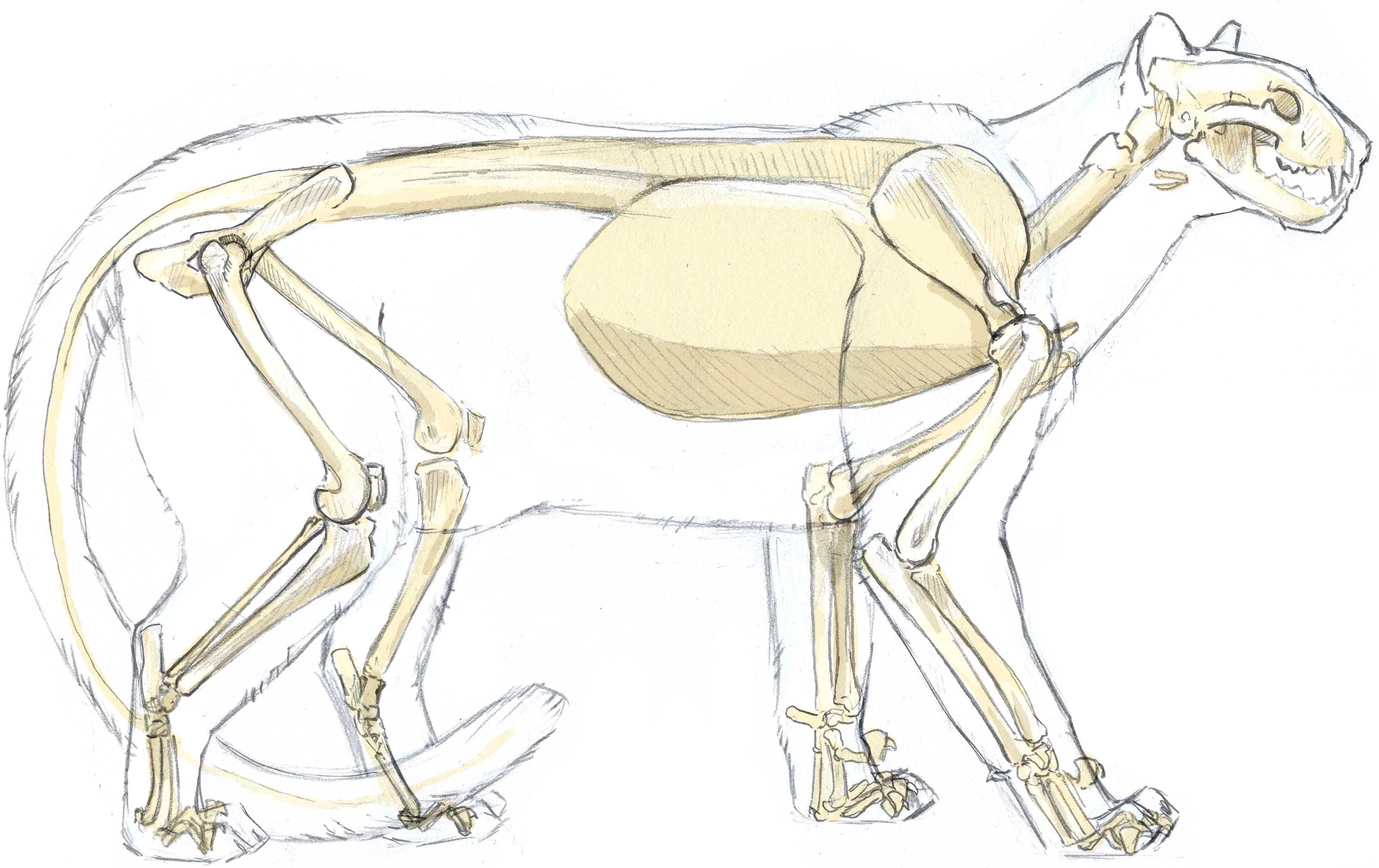 Mountain Lion Skull Diagram Coyote Skull - Wire Diagrams