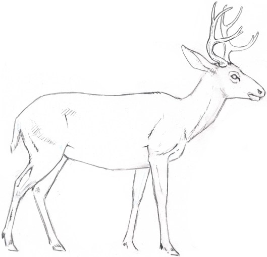 Deer Contour Line Drawing : How to draw a deer fur texture john muir laws