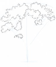 Now draw the masses of the leaves that are the closest to you. Use an irregular line that suggests the sense of the foliage without needing to draw individual leaves. Make sure the clumps are different sizes and avoid mechanical regular spacing or your tree will look artificial.