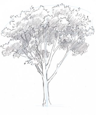 Add shadows to the underside of the leaf masses. Leave a rim of light at the top of the upper leaf clumps. The shapes of these shadow areas will change depending on your angle to the sun and the time of day. Draw what your really see rather than the way you think shadows should go.