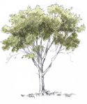 You could leave the drawing just as a pencil drawing or add paint. Because the shadows are already indicated with pencil, a light wash of green watercolor is all you need in the leaf masses.