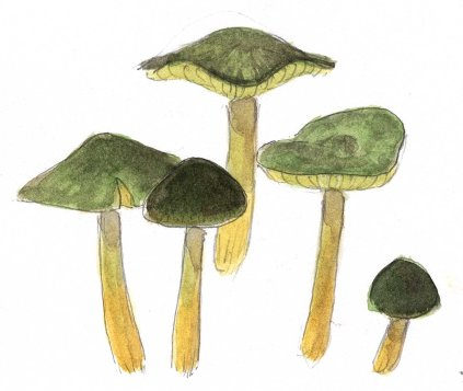 I discovered a little patch of lovely Parrot Mushrooms under a canopy of Redwoods. I painted these with transparent watercolor, focusing on matching the colors of the tissues and not worrying about making them look wet and glossy.