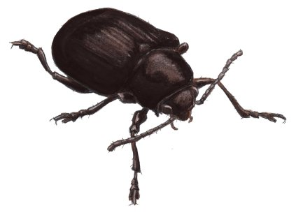 Now let's paint the same beetle to look shiny. Start with bold deep shadow areas that transition into the highlight regions quickly. Notice that this surface does not yet look glossy..