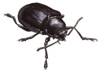 Once the surface is dry, punch in highlights with Permanent White Gouache (a water based paint similar to watercolor but more opaque). The sharper the transition and the greater the contrast (black to white), the shinier the beetle will appear. This is why the thorax looks shinier than the elytra (wing covers)..
