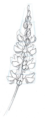 The top flower buds are bunched together. Here draw the central flowers in the rest of the spike.