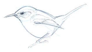 As your drawing develops, add bolder lines with more confidence. Note how the wing is simplified to primaries, secondaries, secondary coverts, and the alula.