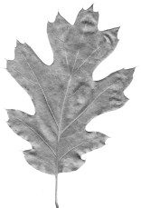 Start with a photocopy of the leaf you want to draw.