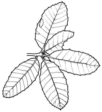 tan oak_1