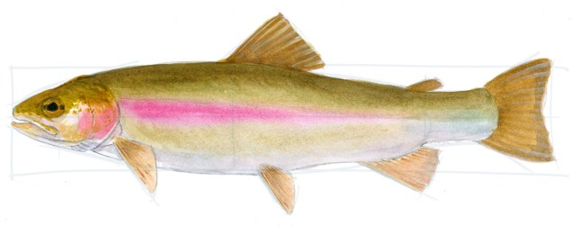 Use gouache to add light fin rays in the dorsal fin.