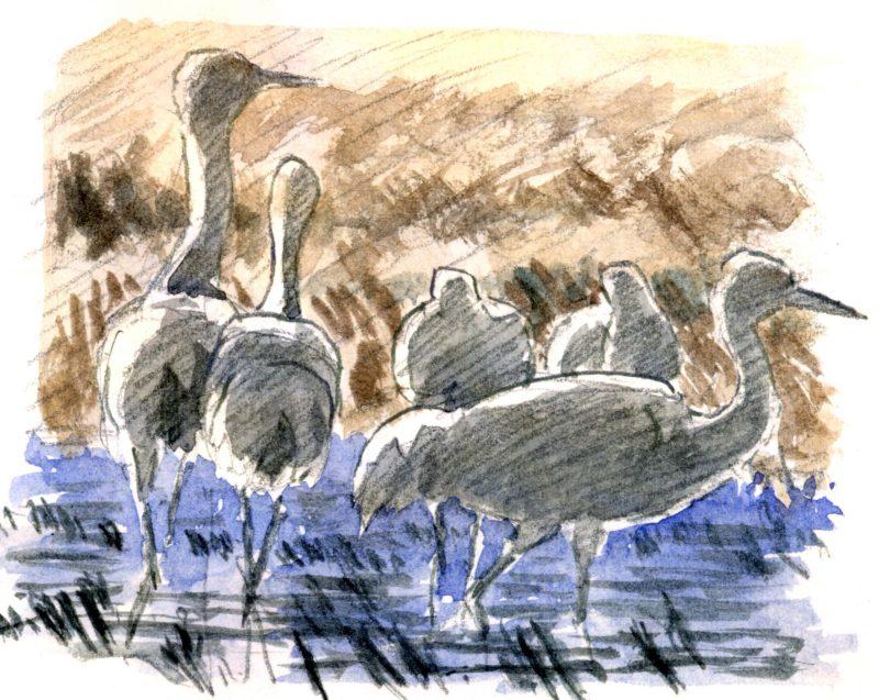 How to Draw Sandhill Cranes (video workshop)