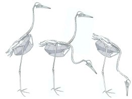 The neck and the hip are the two critical points of articulation. The body can tip up and down from the hip, changing the posture. Note how the leg appears to emerge closer to the neck as the bird tips forward.