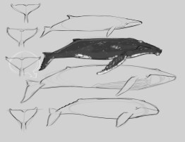 Many Humpbacks have very dark backs with irregular white markings, often the edge of the pectoral fin is lined with white.