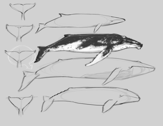 Other Humpbacks have more extensive white markings. The pectoral fin may be entirely white.