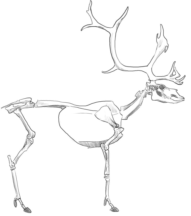 """How to draw Caribou """"and"""" Reindeer"""