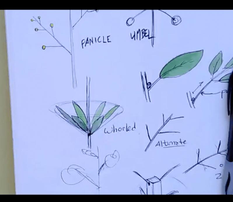 Stems, Leaf Arrangement, and Inflorescence