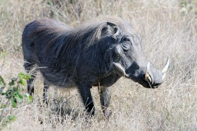 kruger safari warthog