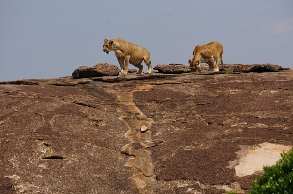 Our first lions of the trip.