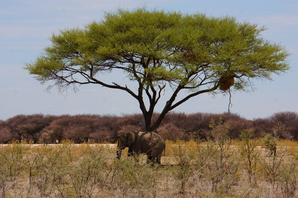 Bull elephant hanging out solo.