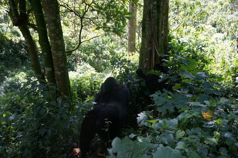 Silverback walking away after scaring the shit out of me.