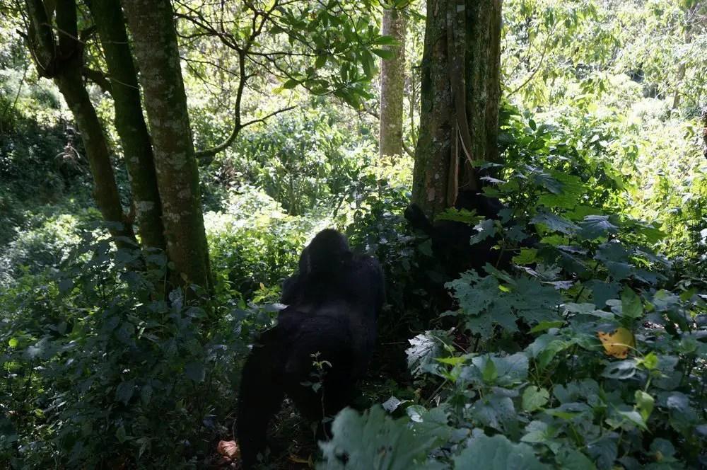 silverback gorilla uganda bwindi trekking