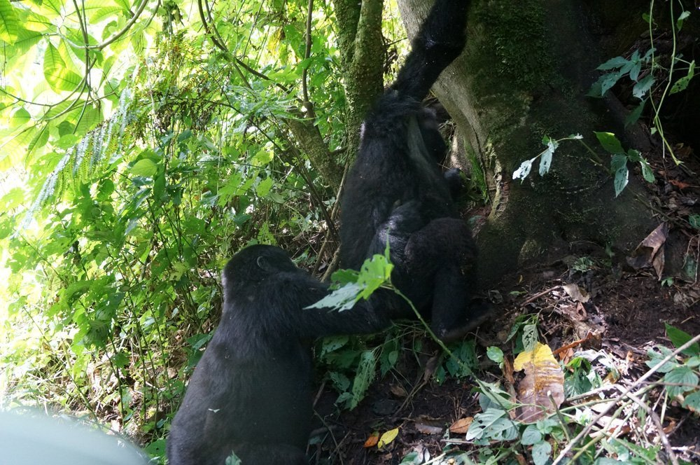 Two teenage gorillas surprised us by giving us a show of them play fighting each other