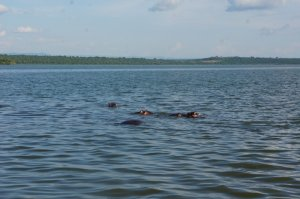 Hippos in the lake right next to our camp