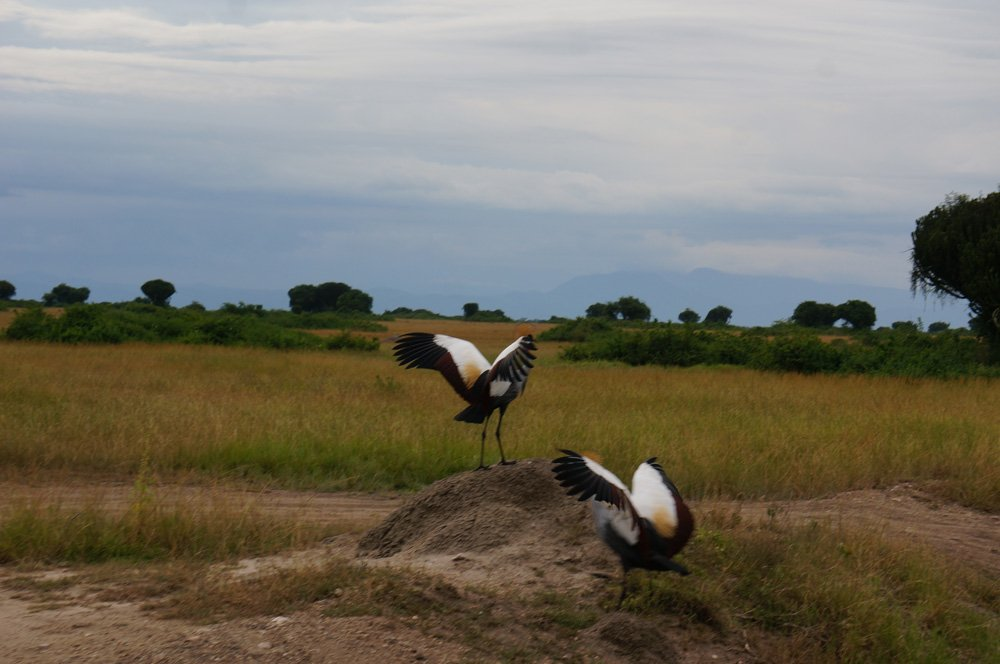 The grey crowned crane, Uganda's national bird