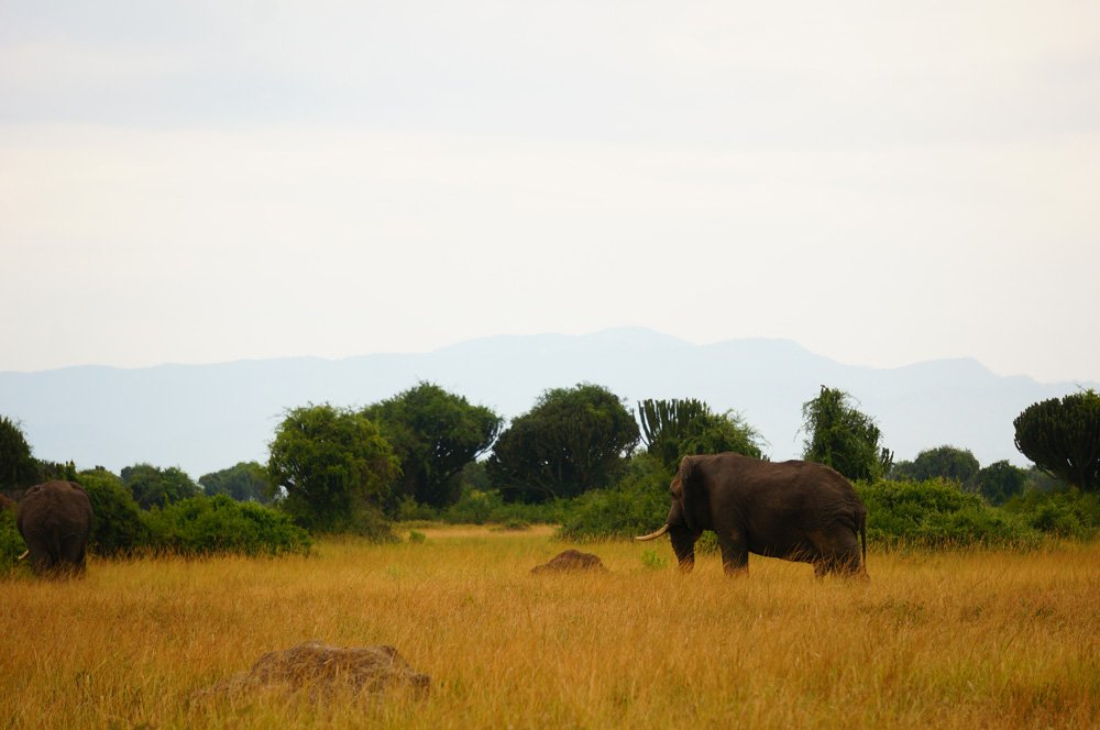 Big bull elephant in the distance.