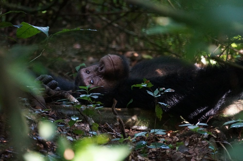 Chimp chilling underneath the trees.