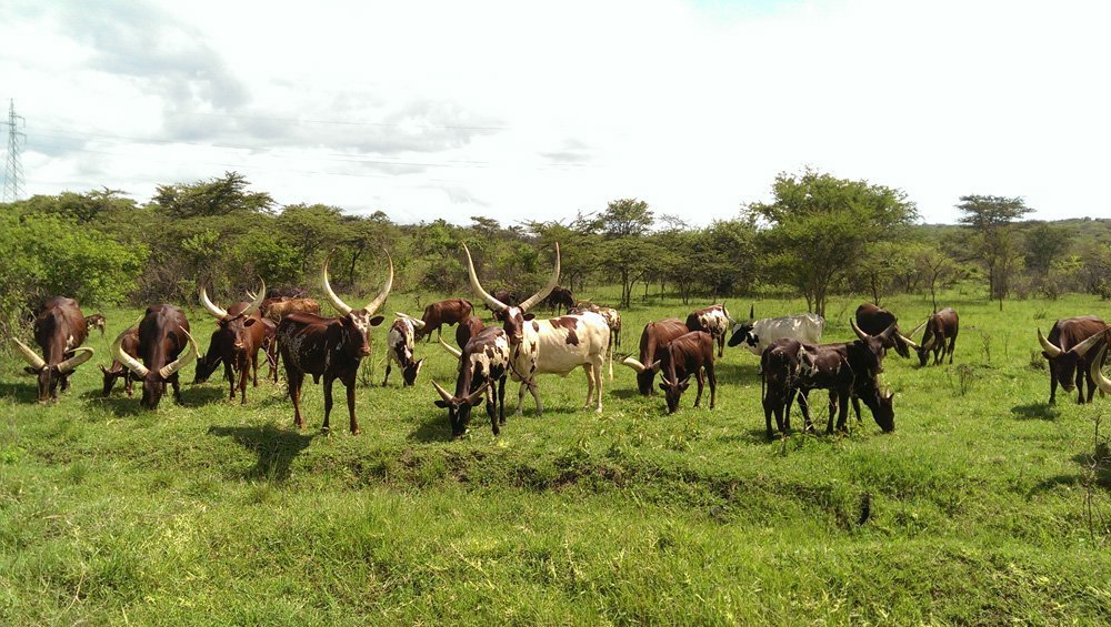 ankole cows uganda