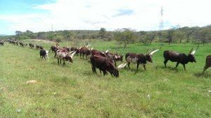 Ankole cows, beautiful.