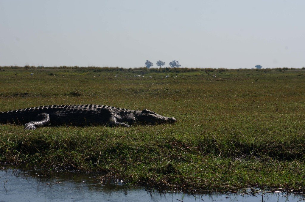 Crocodile hanging out on its own.