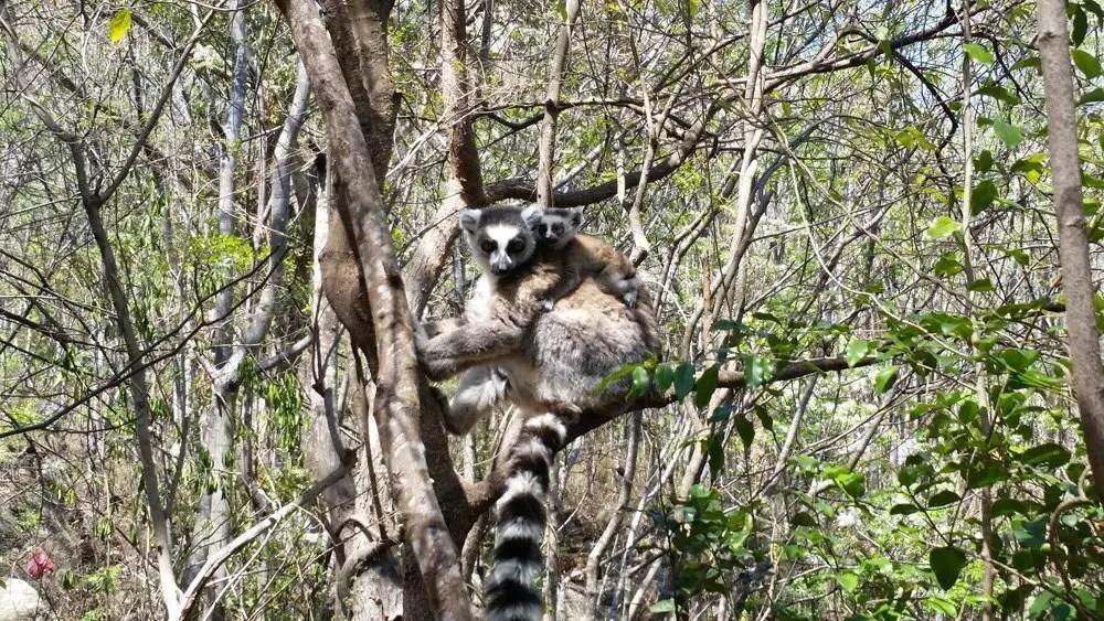 Baby lemurs!