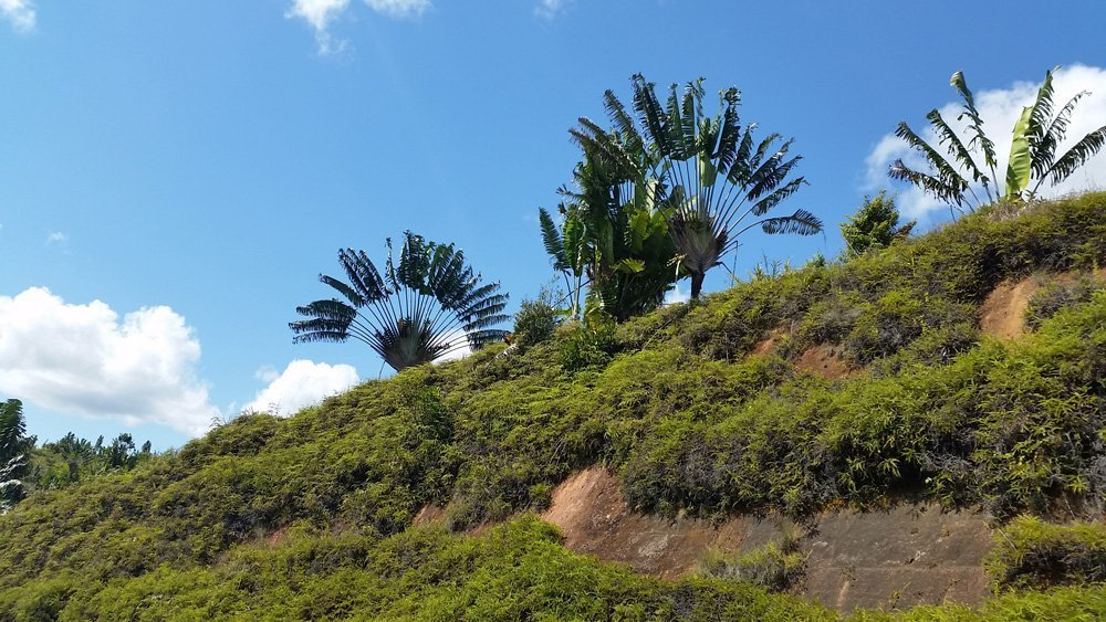 Ravenala trees everywhere