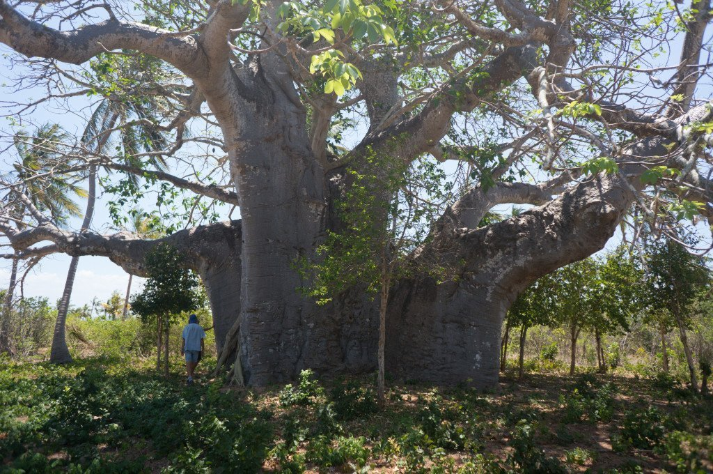 One of the biggest baobab trees around. Although I much prefer the baobab species of Madagascar!
