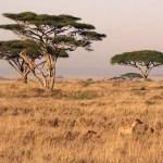 serengeti hyena tanzania safari