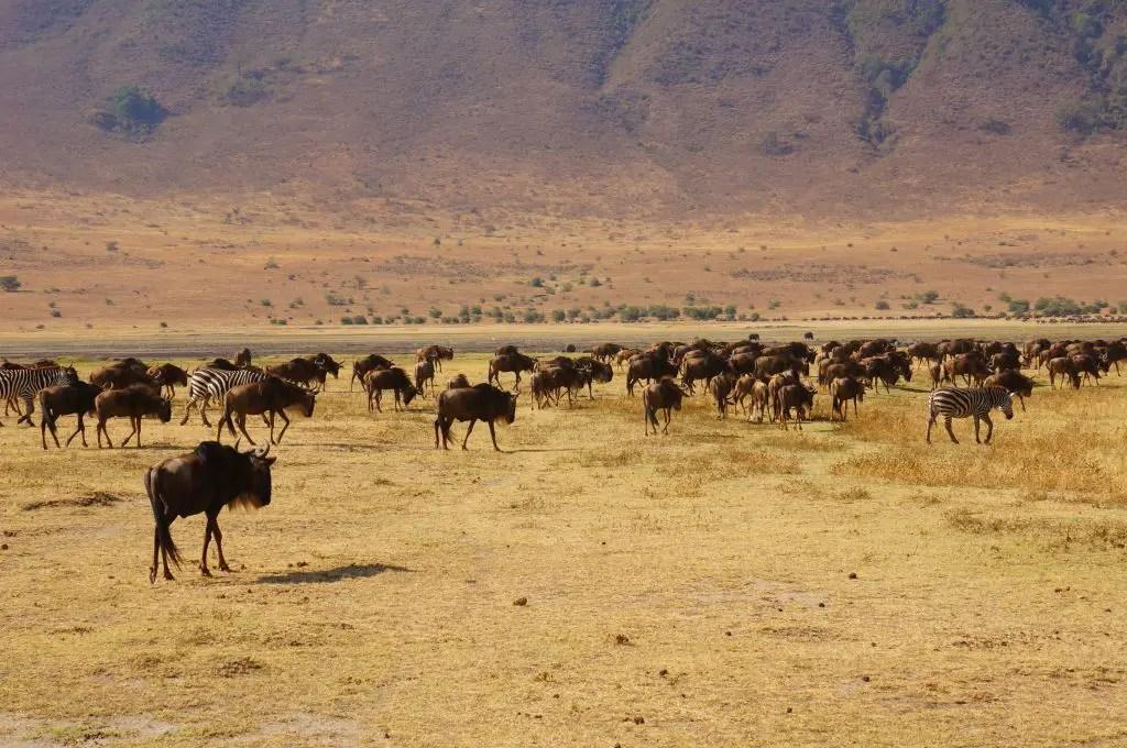 wildebeest and zebra in ngorongoro crater