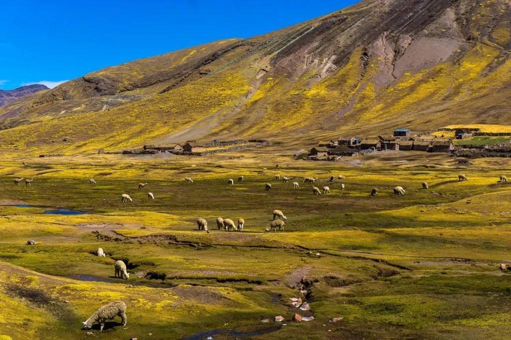 Rainbow mountain alpaca