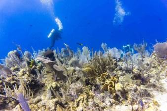 Little Cayman diving corals