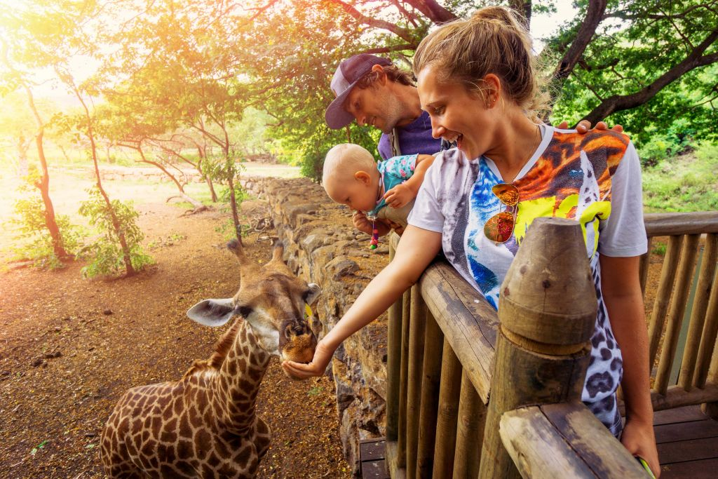 south africa giraffe feeding