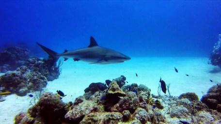 Reef shark turks and caicos scuba diving