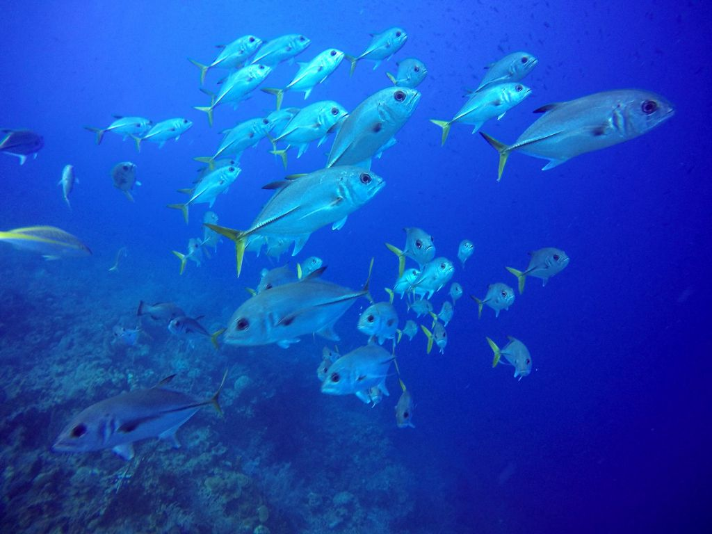 Long Caye Aquarium school of Jackfish