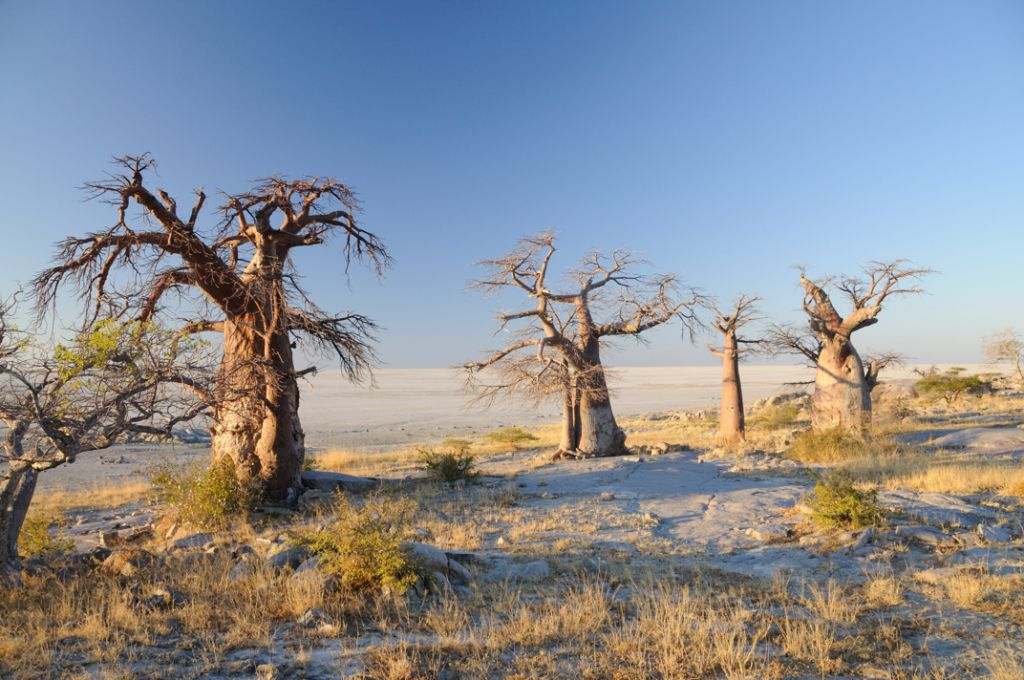 The stunning salt pans and baobab trees in the Makgadikgadi Park