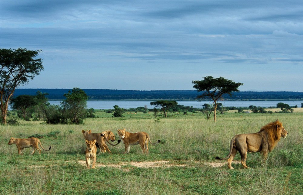 lions queen elizabeth national park