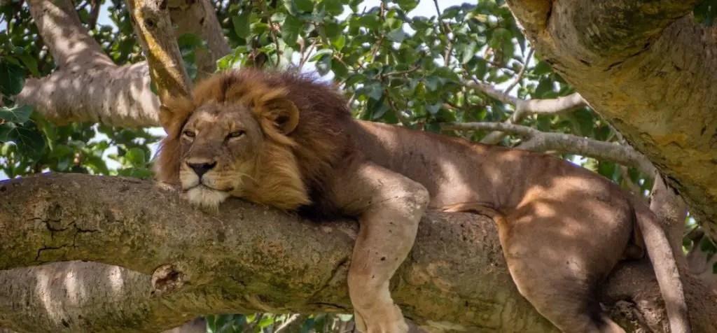 tree climbing lions queen elizabeth national park uganda
