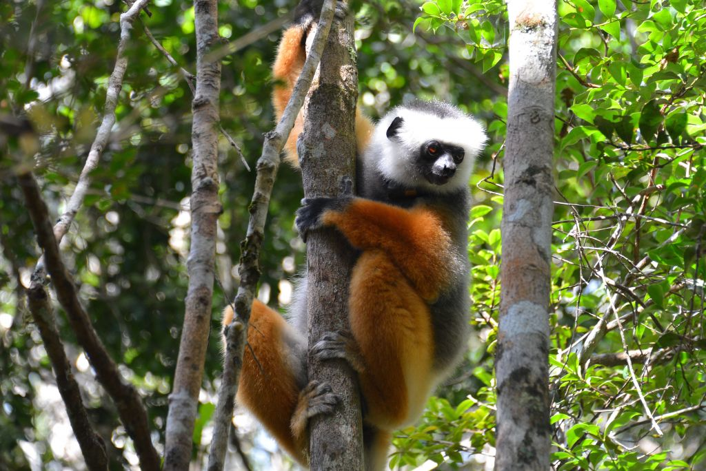 coquerel lemur