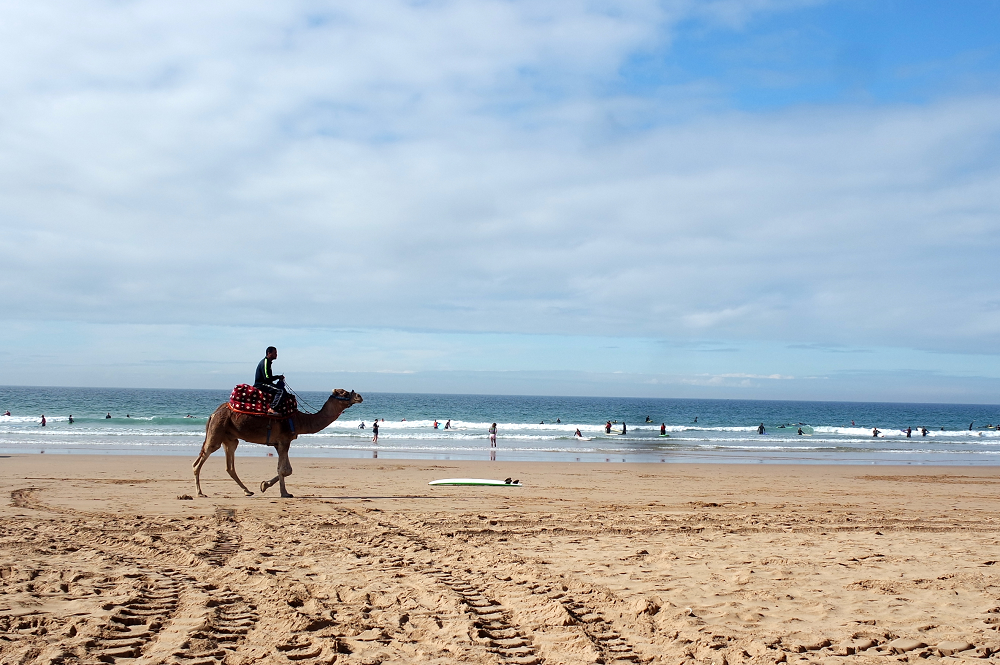 camel taghazout morocco surf