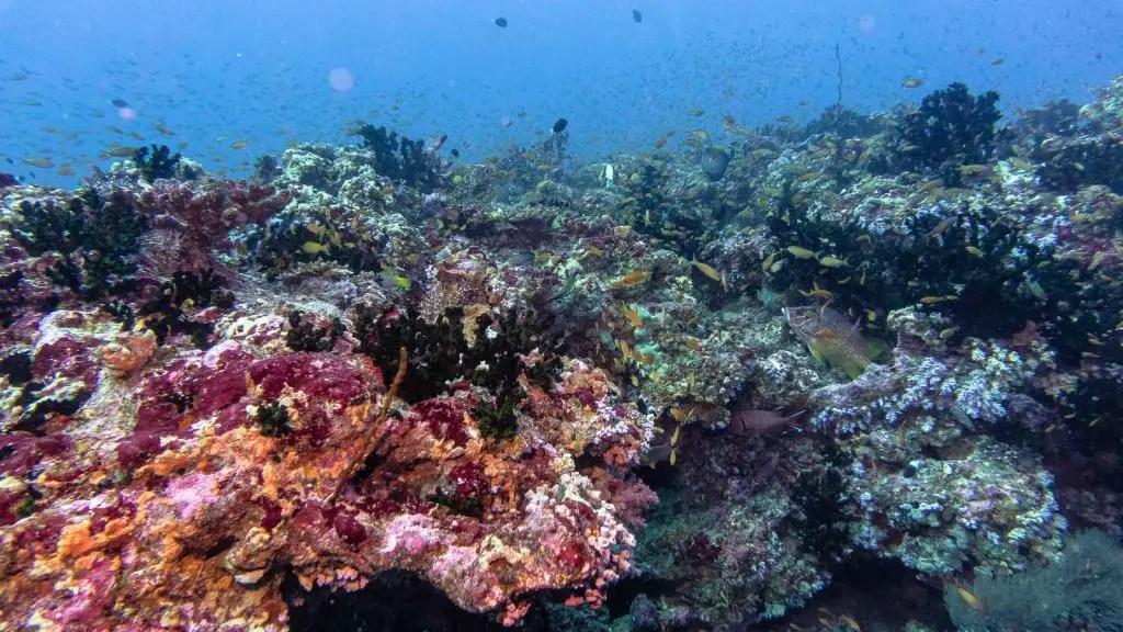 Carpe Diem scuba diving maldives yellow snapper